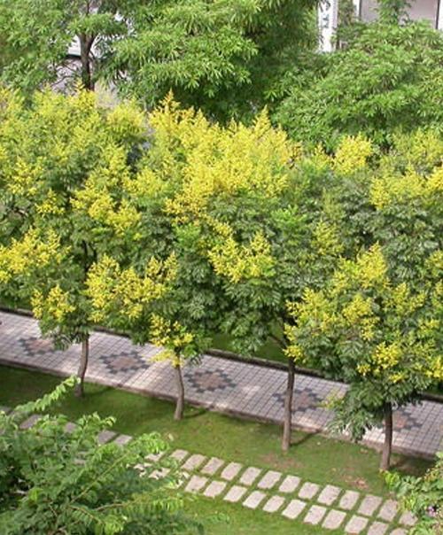 鄢陵占地栾树种植技术