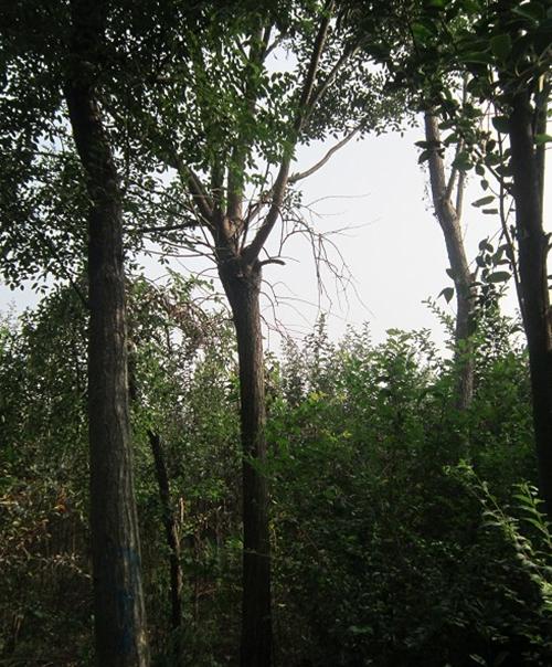 鄢陵国槐基地