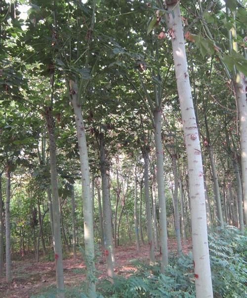 鄢陵青桐树